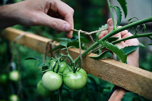 Выращивание помидоров в тени