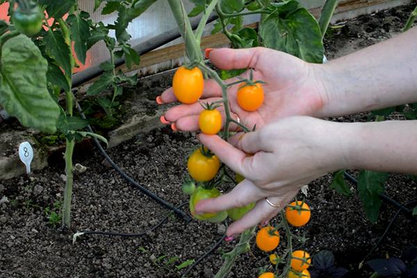 Выращивание желтых помидоров в тени