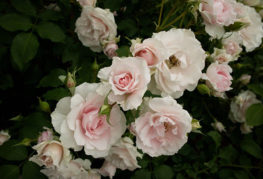 Цветение роз в тени