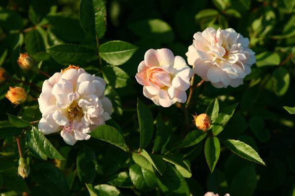 Роза Lykkefund