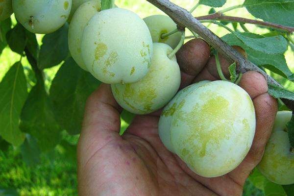 Зеленые плоды алычи