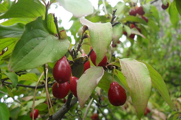 Кизил плодоносит