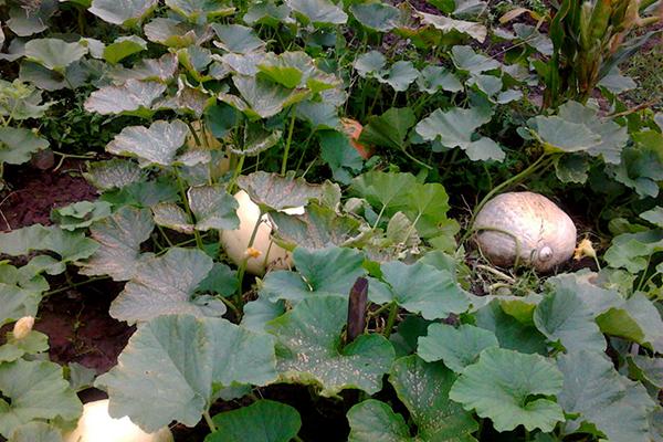 Выращивание тыкв в тени