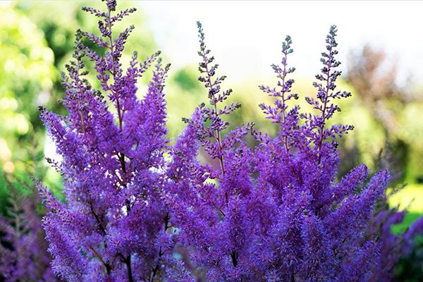 Фиолетовая астильба