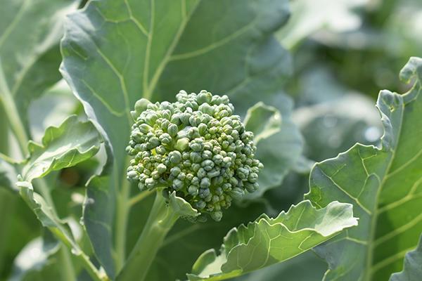 Соцветие брокколи