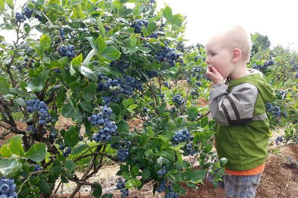 Ребенок у куста голубики