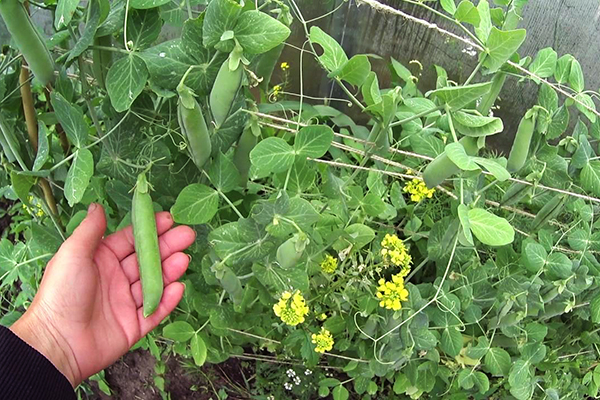 Выращивание гороха в тени забора
