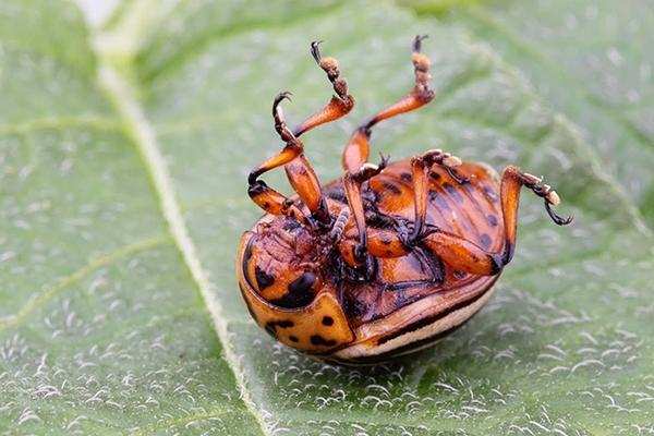 Мертвый колорадский жук