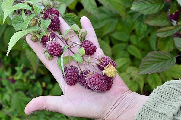 Крупные ягоды на кусте малины