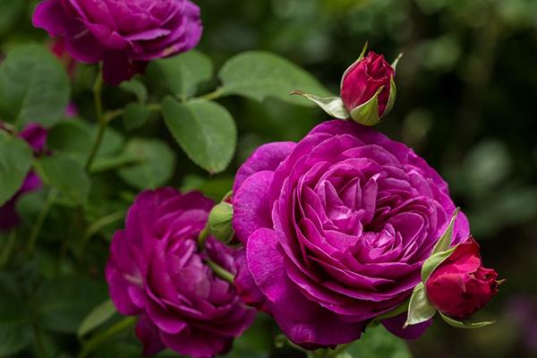 Цветение розы в саду