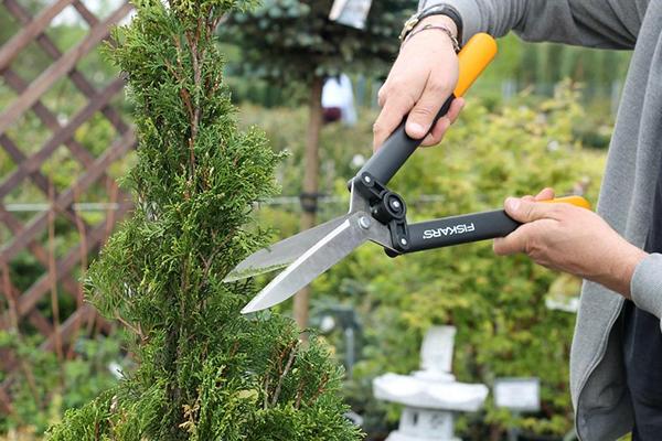 Стрижка туи садовыми ножницами