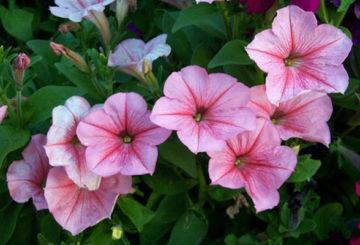 Цветение петунии в тени