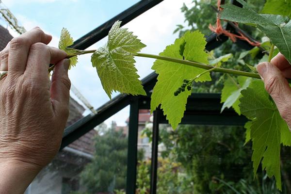 Прищипка побега винограда