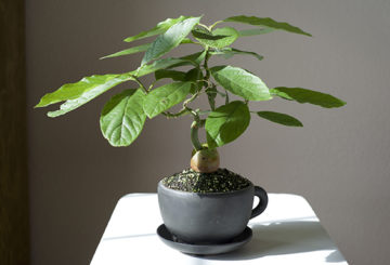 Бонсай из авокадо