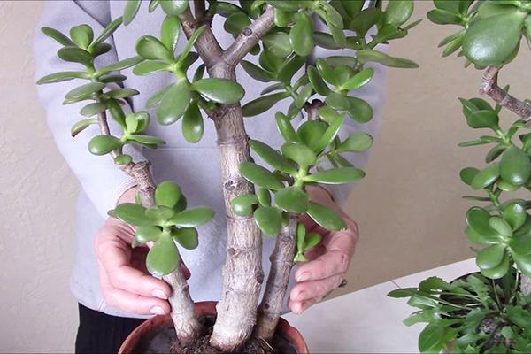 Большое денежное дерево