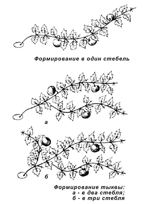 Схемы формировки тыквы