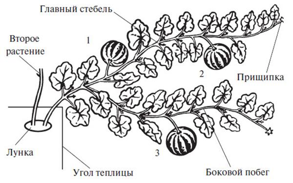 Формирование арбуза в два стебля