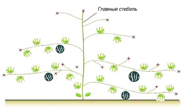 Формирование арбуза с плодоношением на побегах второго уровня