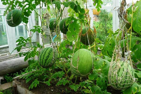Плодоношение арбузов в теплице