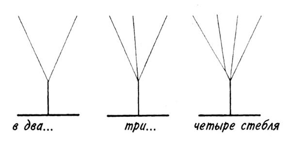 Формирование высокорослого перца в два, три и четыре стебля