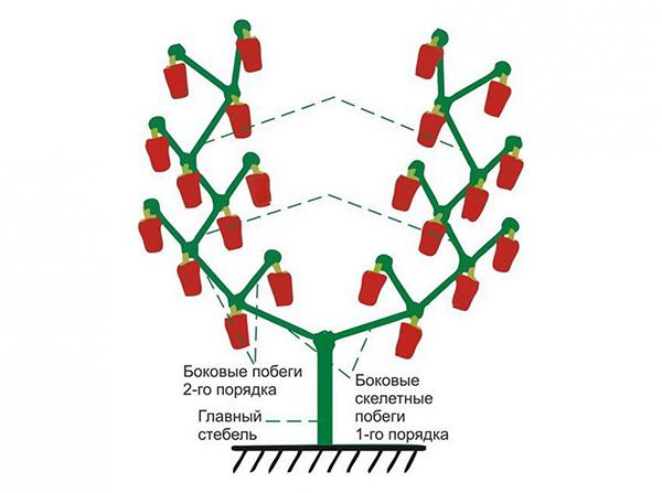 Схема формирования перца в два стебля