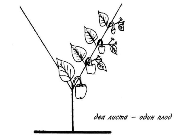 Схема формирования перца с завязью на каждом узле