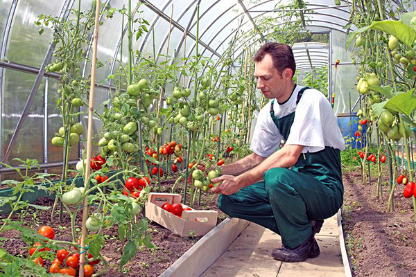 Сбор помидоров в теплице