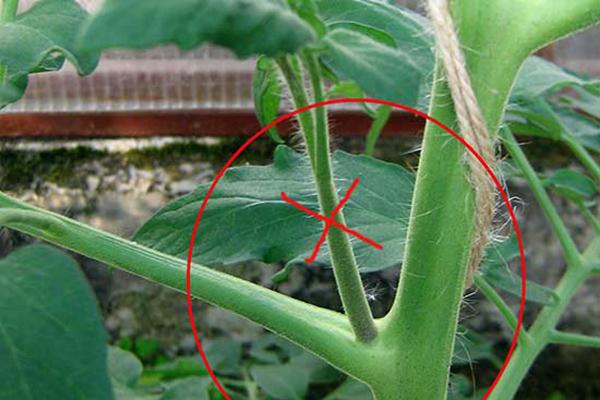 Пасынок на кусте томата
