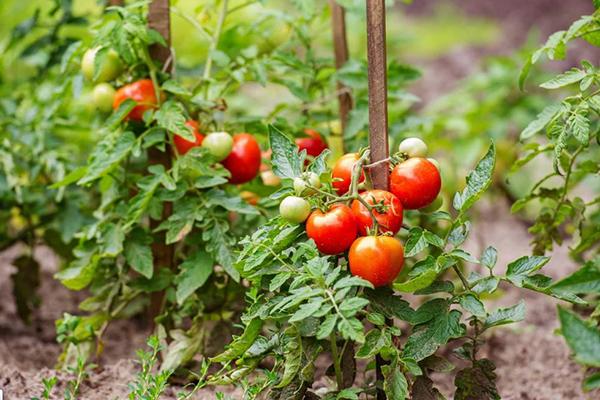 Выращивание низкорослых томатов