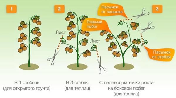 Схема формирования полудетерминантных помидоров