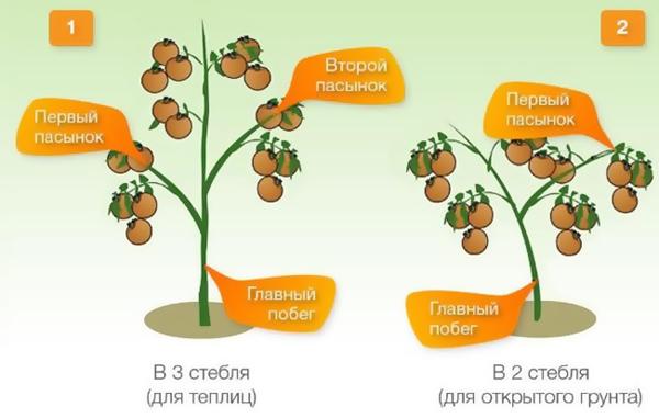 Схема формирования детерминантных помидоров