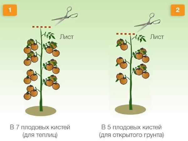 Схема формирования индетерминантных помидоров