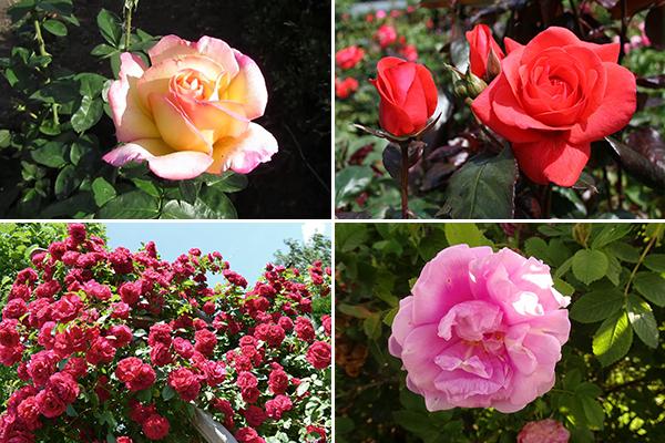 Розы, которые не надо укрывать