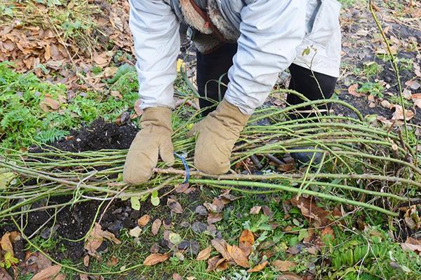 Подготовка розового куста к зиме