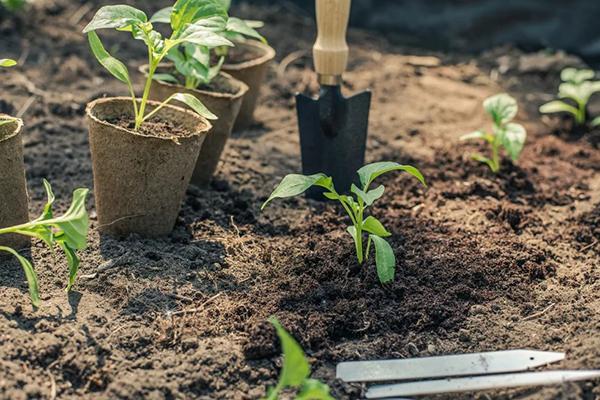 Высадка рассады в огород
