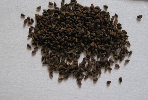 Семена годеции