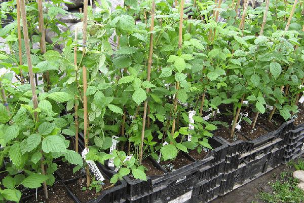 Саженцы малины с закрытой корневой системой