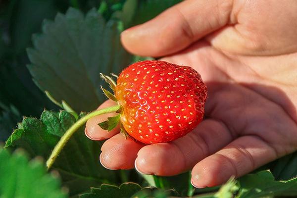 Созревшая ягода клубники
