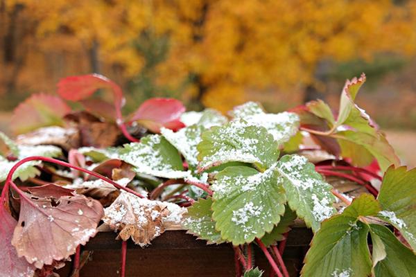 Клубника под первым снегом