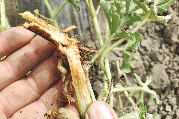 Стебель арбуза, пораженного болезнью