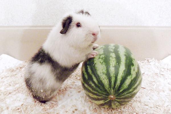 Морская свинка с маленьким арбузом