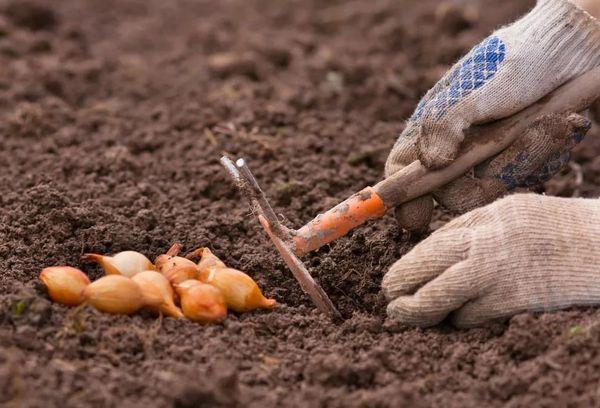 Подготовка почвы и высадка лука
