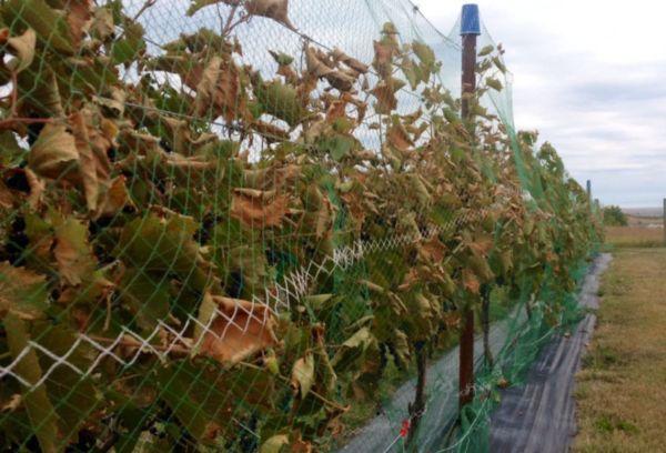Осенние работы в винограднике