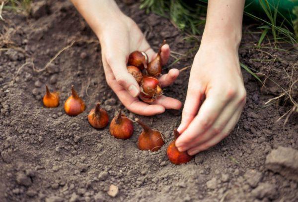 Подзимняя посадка луковиц