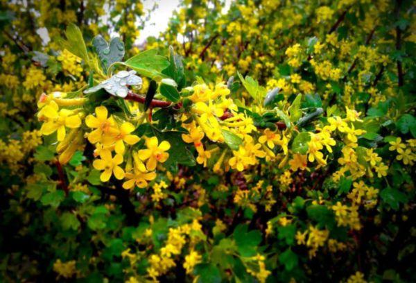 Золотистая смородина цветение