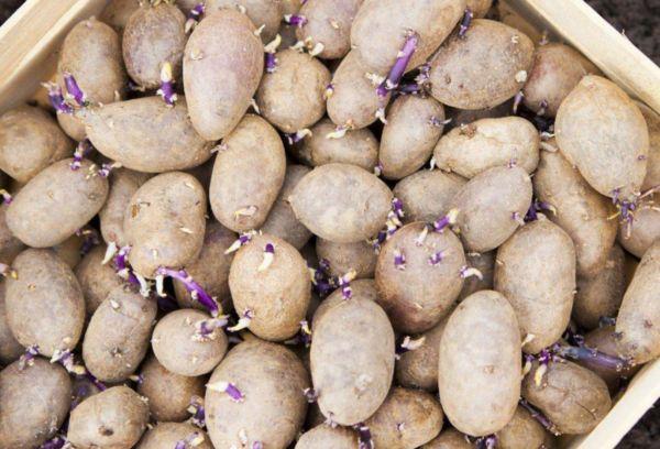 Клубни картошки для посадки