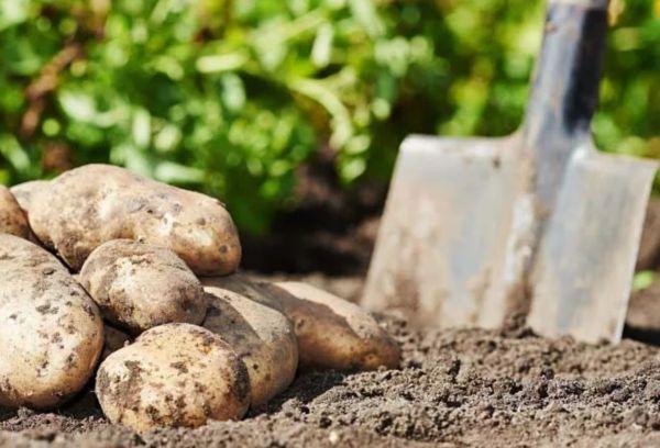 Лопата и картошка
