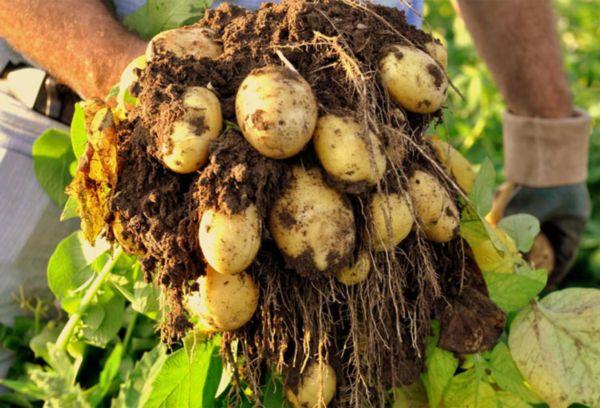 Сбор картошки урожай