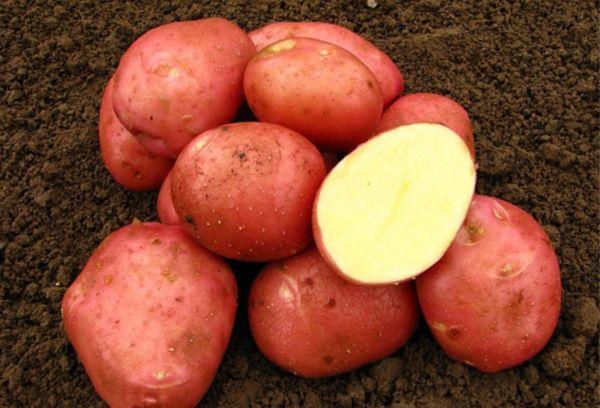 Картошка Бела роса