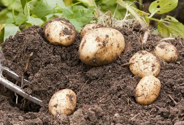 Почва после картофеля